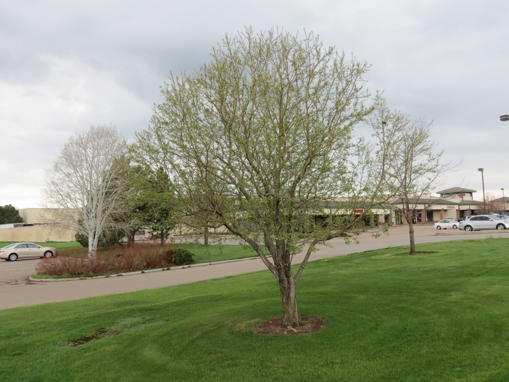 May 9th, 2013 - Same tree at Sanborn Park has not yet come out in blossoms.