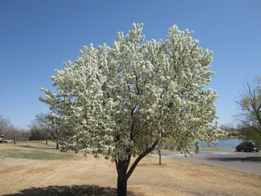 April 9th, 2012 - Tree at Sanborn Park all the way in bloom.